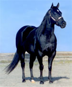 Black to Basics Stallion