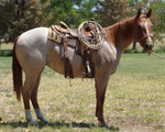 Of Stormy Powder Quarter Horse Consignment
