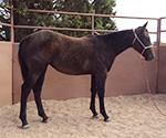 Rescate Bonnie Blue Quarter Horse