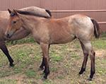 Rescate Royale Quarter Horse