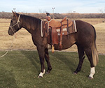 Red Hot Showboat Quarter Horse Private Treaty