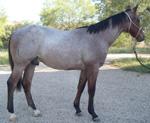 Mister Rescate Quarter Horse Consignment