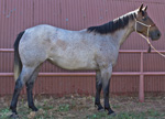 Purdy Rescate Rose Quarter Horse Broodmare