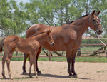 Red Hot Lady Owens Quarter Horse Broodmare