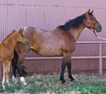 Starlights Red Boots Quarter Horse Broodmare