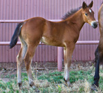 Bay Colt Quarter Horse Private Treaty