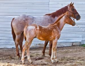Red Roan Colt
