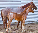 Red Roan Colt Quarter Horse Private Treaty