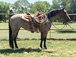 Sixgun Rose Quarter Horse