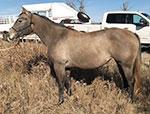Shesa Playgun Gal Quarter Horse