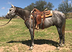 Sixgun Smoke Quarter Horse