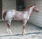 Bet Hesa Spitfire Quarter Horse